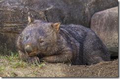 1024px-Australia_Zoo_Wombat-1_(18219353755)